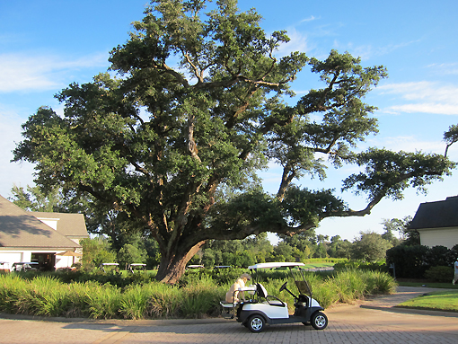 100+ year old Live Oak tree (notice superintendent's dog dutifully waiting in the cart for him)