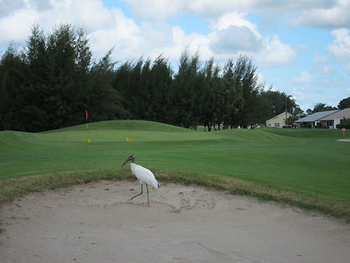 Wood Stork on first hole